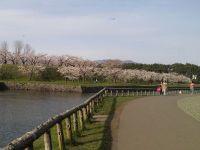 2011sakura3