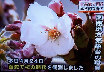 2019sakura1